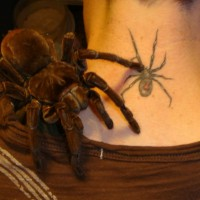 Theraphosa blondi 'Goliath Birdeater'