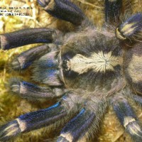 Poecilotheria metallica Female