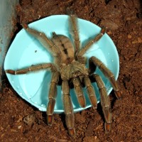 "Triggered (♀ Psalmopoeus cambridgei 5"")"