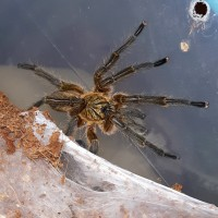 Post molt H.pulchripes