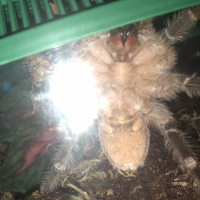 Aphonopelma seemanni male or female? Rescue