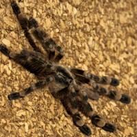 1.0 Poecilotheria subfusca 'lowland'