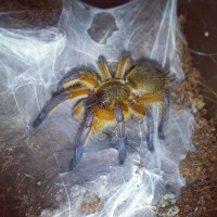 H. pulchripes sling eating