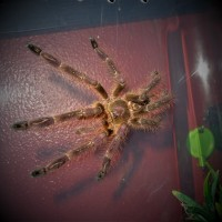 MM Poecilotheria subfusca 'Lowland'