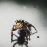 Tiny P. audax spiderling