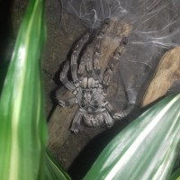 Recently molted Togo Starburst