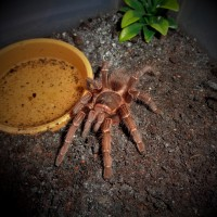 0.1 Acanthoscurria musculosa