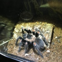 Sold as Brachypelma Smithi