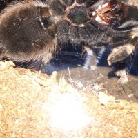 N.chromatus ventral flash shot