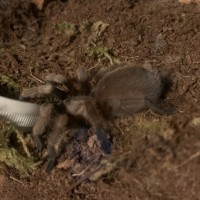 Tarantula ID Request [1/3]