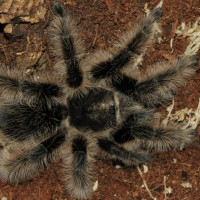 Sold as Curly Hair Tarantula