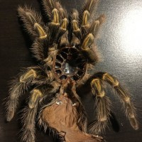 Grammostola pulchripes [molt sexing]