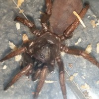 new Cataxia sp. Trapdoor