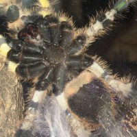Poecilotheria Regalis part 2