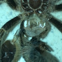 Grammostola pulchripes M or F