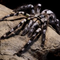 Poecilotheria regalis Mature Female
