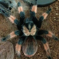 "Brachypelma emilia female; 4.5"" DLS; Molt Date 10-6-18; Photo'd 10-9-18"