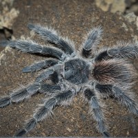 Lasiodora parahybana or difficilis Female - 5""