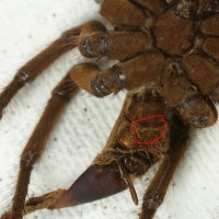 Theraphosa stirmi [molt sexing]