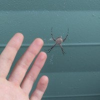 Large Orb Weaver