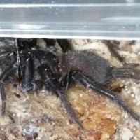I've wanted this spider for 8 months (A. nambucca)