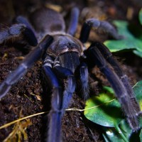 Chilobrachys sp. Vietnam Blue 0.1