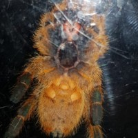 Pterinochilus murinus [ventral sexing]
