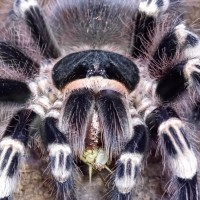 A.geniculata adult female