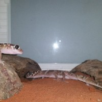 Thick Tailed Gecko pair