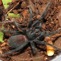 "Phormictopus sp. ""south Hispaniola"" (♀ 1"")"