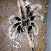 MM Sr. Floof 4 months since Final Molt