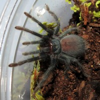 "Rehoused Phormictopus sp. ""south Hispaniola"" Sling"