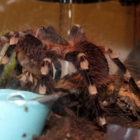 "Tippy Toes (♂ Acanthoscurria geniculata 4"")"