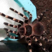 "On Guard (♂ Acanthoscurria geniculata 4"")"