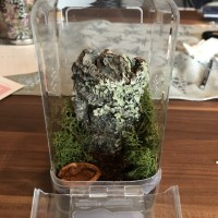 Caribena versicolor Enclosure