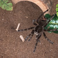 Theraphosa Stirmi