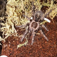 G. pulchripes juvie 0.0.1