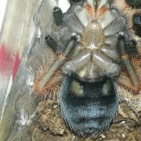 Brachypelma boehmei, after molt