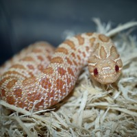 Young Female Albino Western Hognose