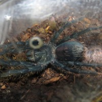 "Post-molt Stretching (♀ Phormictopus sp. ""south Hispaniola"")"