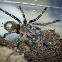 Homoeomma sp. Blue Juvenile Female - 3""