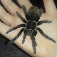 Sold as Grammostola rosea