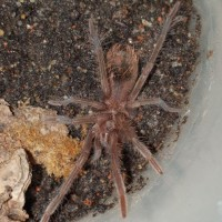Xenesthis immanis sling