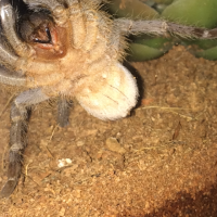 "2"" Aphonopelma seemanni [ventral sexing]"