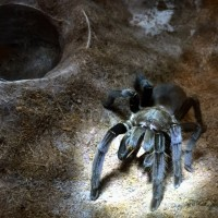 Chilobrachys sp
