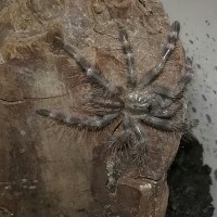 freshly molted 2i regalis