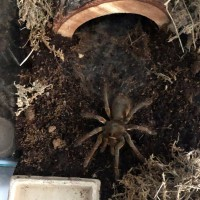 "Antheia (0.1 6"" T. stirmi)"