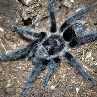 Grammostola grossa Female - ~4""