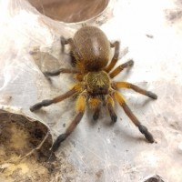 H. pulchripes going to explode