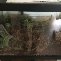 Asian Forest Scorpion enclosure